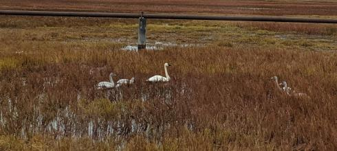 Tundra swans (whistlings) that we saw while we were on our way to get permafrost samples (Photo: Marina Nieto-Caballero)