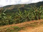 The tropical savannah supports the banana plantation