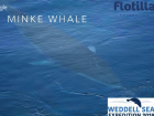 A minke whale surfacing near the S.A. Agulhas II