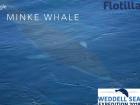 A minke whale surfacing near the S.A. Agulhas II