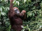 An orangutan living amongst the trees