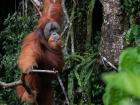 An orangutan in the jungles of Sumatra