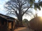A baobab tree I saw when I visited a friend