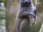An eastern grey bamboo lemur was spotted in the trees