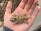 "A closeup picture of a greater short-horned lizard (often called ""horned toad"") outside Green River High School"