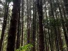 At high elevations, the forest switches from eucalyptus trees to pines