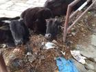 These cows prefer to take their afternoon nap in this shady spot on the street