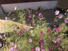 Pretty cosmos flowers in full bloom