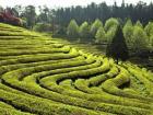 A farm growing green tea, an essential in Korea (Google Images)