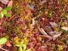 This is Sphagnum moss up close